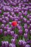 Tulipani della valle di Skagit Immagine Stock