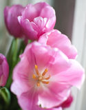 Tulipani dentellare Immagine Stock