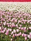 Tulipani dentellare Fotografie Stock