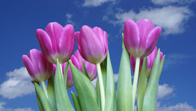 Tulipani dentellare Immagini Stock Libere da Diritti
