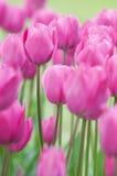 Tulipani dentellare Fotografia Stock