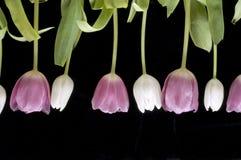Tulipani dentellare bianchi alternanti Fotografia Stock Libera da Diritti