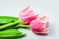 Tulipani dentellare dei fiori Fotografia Stock Libera da Diritti