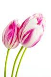 Tulipani dentellare e bianchi Fotografia Stock