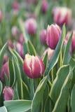 Tulipani dentellare e bianchi Immagini Stock Libere da Diritti