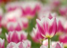 Tulipani dentellare e bianchi Immagine Stock