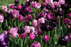 Tulipani dentellare e viola Fotografia Stock