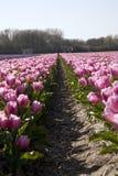 Tulipani dentellare in Olanda Immagini Stock
