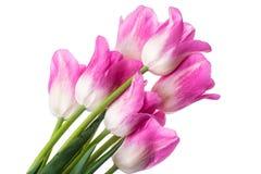 Tulipani dentellare su priorità bassa bianca Immagini Stock
