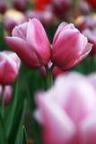 Tulipani di amore Fotografie Stock Libere da Diritti