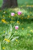 Tulipani di aprile nel parco di Danubio di Vienna fotografia stock libera da diritti