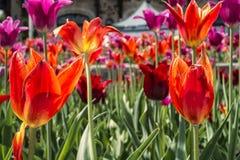 Tulipani di belvedere di Kondiaronk Fotografie Stock