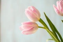 Tulipani di bianco e di rosa pastello su fondo blu Fotografie Stock