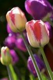 Tulipani di colore Fotografia Stock
