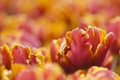 Tulipani di colore giallo di colore rosso arancione Fotografia Stock