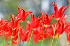 Tulipani di colore rosso. Fotografie Stock Libere da Diritti