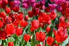 Tulipani di colore rosso. Immagine Stock Libera da Diritti
