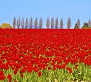 tulipani di colore rosso del campo Fotografia Stock
