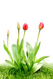 Tulipani di colore rosso del gruppo Immagini Stock Libere da Diritti