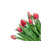 Tulipani di colore rosso del primo piano Fotografie Stock