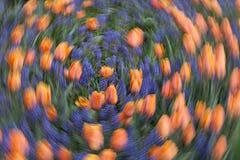 Tulipani di dancing Immagini Stock Libere da Diritti