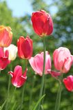 tulipani di estate del fiore della priorità bassa Fotografia Stock
