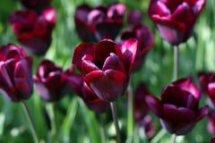 Tulipani di fioritura Fotografie Stock