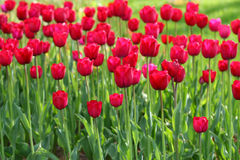 Tulipani di fioritura Immagini Stock Libere da Diritti