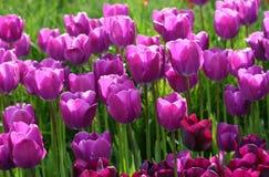 Tulipani di fioritura Fotografie Stock Libere da Diritti