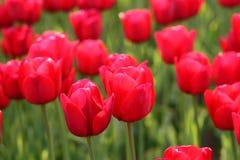 Tulipani di fioritura Immagine Stock