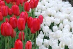 Tulipani di fioritura di bianco e di rosso in primavera immagini stock