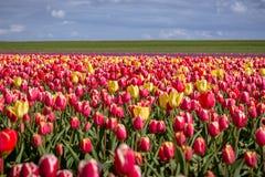Tulipani di fioritura di carnevale in giallo ed in rosso durante la molla Immagini Stock