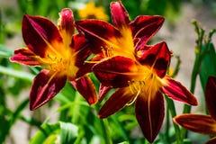 Tulipani di fioritura di rosso con il centro giallo Fotografia Stock Libera da Diritti