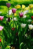 Tulipani di fioritura differente di colori Fotografie Stock