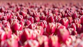 Tulipani di fioritura durante la molla Immagine Stock Libera da Diritti