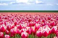 Tulipani di fioritura durante la molla Immagine Stock