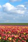 Tulipani di fioritura durante la molla Fotografia Stock Libera da Diritti