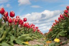 Tulipani di fioritura durante la molla Fotografie Stock Libere da Diritti