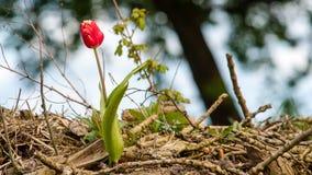 Tulipani di fioritura durante la molla Immagini Stock