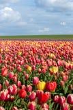 Tulipani di fioritura durante la molla Fotografie Stock