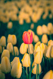 Tulipani di fioritura in giallo ed in rosso durante la molla Fotografia Stock Libera da Diritti