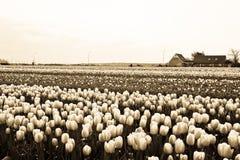 Tulipani di fioritura nel campo con colore di seppia, Paesi Bassi Fotografia Stock Libera da Diritti