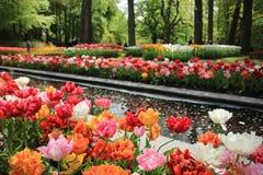 Tulipani di fioritura in primavera Immagini Stock