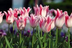 Tulipani di Holland Chic Fotografie Stock