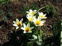 Tulipani di Kaufamia in un confine del giardino Immagine Stock