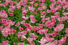 Tulipani di mignolo Fotografie Stock Libere da Diritti