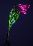 Tulipani di morte Immagine Stock Libera da Diritti