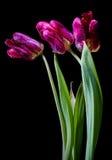 Tulipani di morte Fotografia Stock