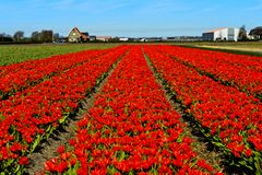 Tulipani di nana rossa fotografia stock