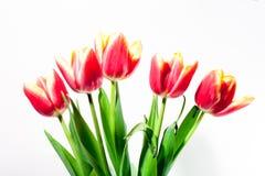 Tulipani di pasqua della primavera nel fondo di bianco del secchio Immagini Stock Libere da Diritti